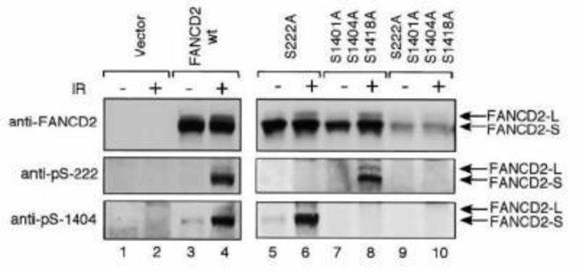 anti-FANCD2 (p Ser222), Polyclonal, Novus Biologicals:Antibodies:Primary